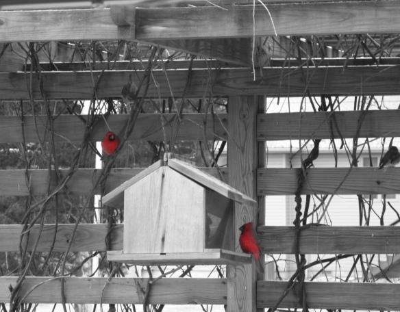 Black and White Red bird