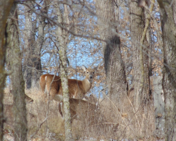 deer peaking through the woods